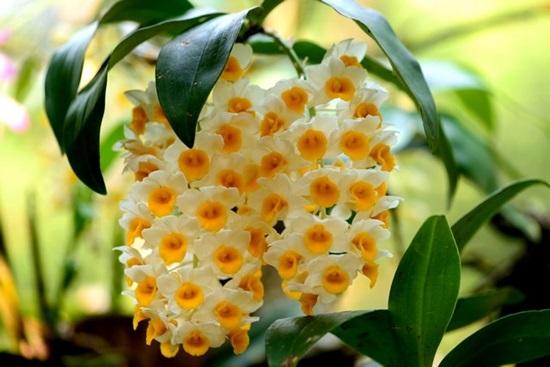 Trong hàng trăm loại phong lan bạn có biết loại nào không? - 9