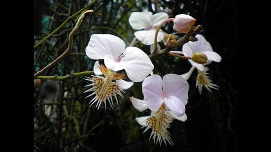 Trong hàng trăm loại phong lan bạn có biết loại nào không? - 3