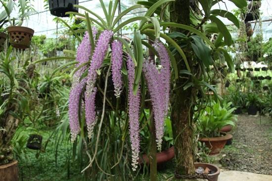 Trong hàng trăm loại phong lan bạn có biết loại nào không? - 6