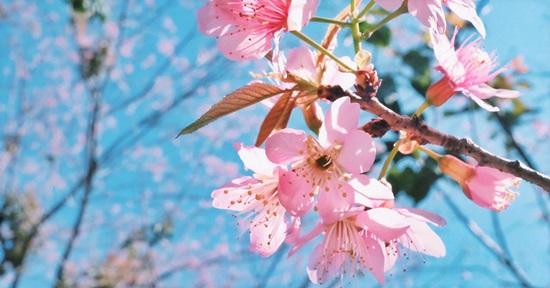 Bạn biết gì về hoa anh đào?