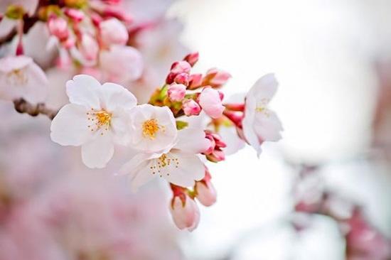 Bạn biết gì về hoa anh đào? - 6