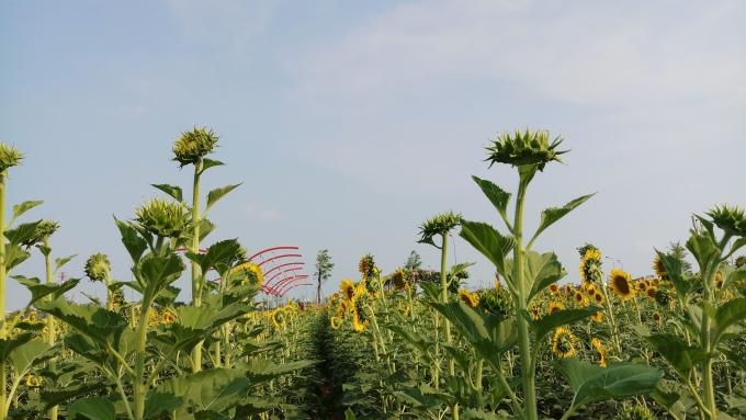 <p> Hàng trăm nghìn cây hoa đua nhau khoe sắc.</p>