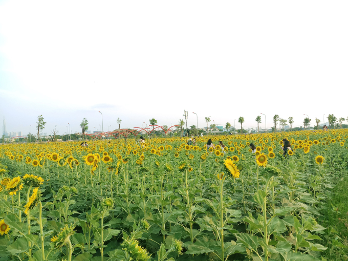 <p> Giờ đây, giới trẻ Sài Gòn chẳng phải lên tận Đà Lạt hay Nghệ An để có những bức ảnh đẹp với cánh đồng hoa hướng dương ngút ngàn.</p>