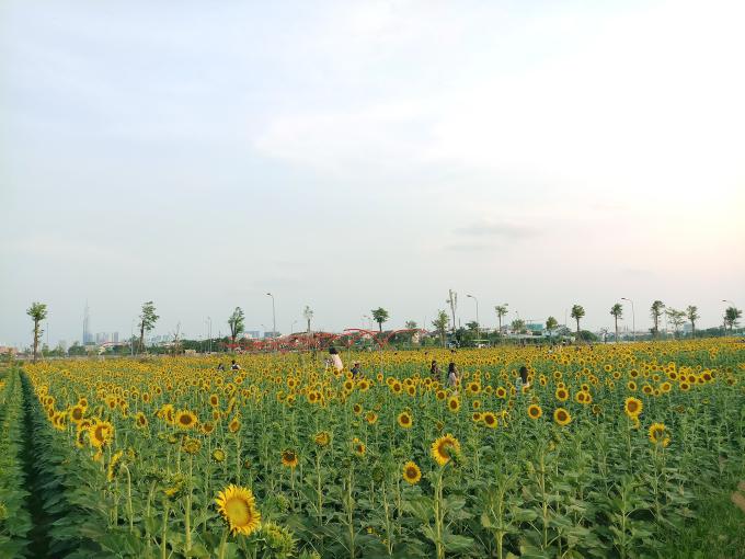 <p> Với diện tích 18.000 m2, cánh đồng hoa hướng dương nằm trong một khu dân cư ở số 375, Hiệp Bình Phước, quận Thủ Đức, TP HCM. Những ngày qua, nơi đây thu hút nhiều người đến tham quan.</p>