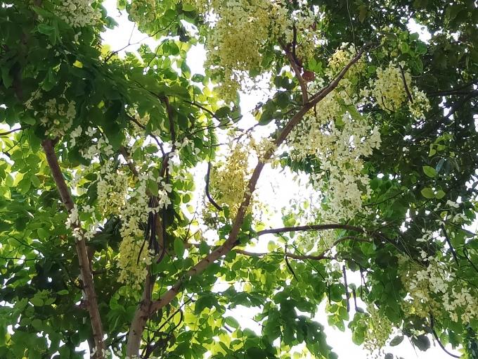 <p> Loài hoa bò cạp màu vàng trắng thường mang cảm giác nhẹ nhàng hơn.</p>