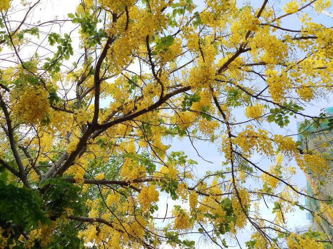 """<p> """"Thời điểm này hoa nở thành nhiều chùm lớn, màu sắc thì đẹp không thua bất cứ loài hoa nào. Tôi thường chụp, rồi dùng đặt làm màn hình nền điện thoại cho đẹp"""", chú nói.</p>"""