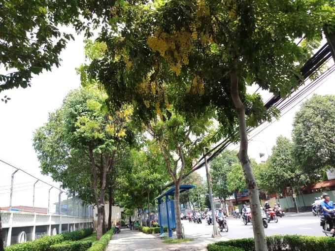<p> Bò cạp vàng là loài hoa nở quanh năm nhưng mùa kết chùm, ra hoa đồng loạt là khoảng từ tháng 5 đến tháng 6. Những ngày qua, đi trên nhiều con phố ở Sài Gòn, bạn sẽ nhận ra vẻ đẹp của loài hoa này.</p>
