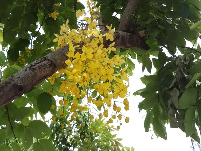 <p> Hoa thường nở thành chùm, buông xõa dưới những tán cây rộng.</p>