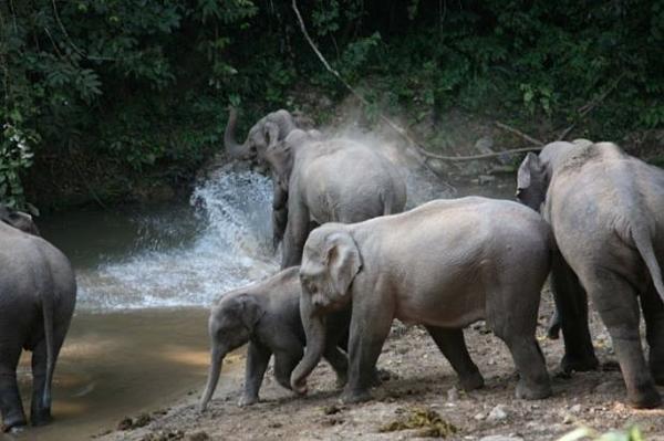 Bầy voi thuộc khu bảo tồn thiên nhiên quốc gia ở quận Xishuangbanna, tỉnh Vân Nam, Trung Quốc.