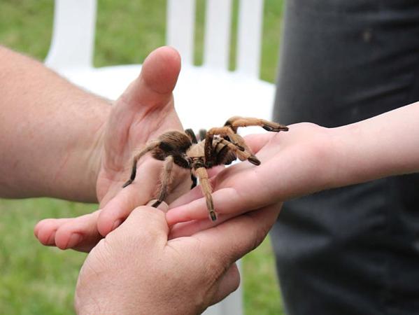 Nhệntarantula có độc, nhưng độc tính không quá mạnh nên được nuôi như thú cưng.