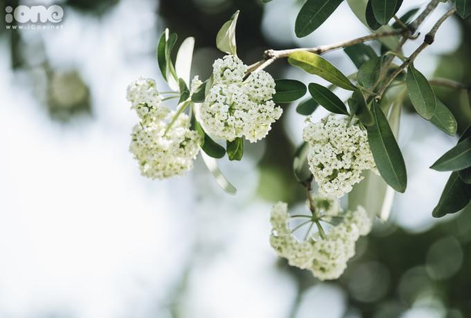 <p> Thời tiết nắng nóng kéo dài cũng khiến hoa sữa rụng nhanh hơn so với mùa thu.</p>