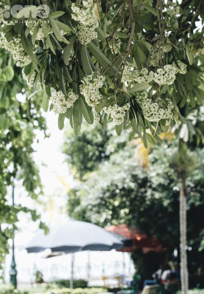 <p> Một cây hoa sữa nở rộ dưới tiết trời nắng nóng lên đến 40 độ C.</p>