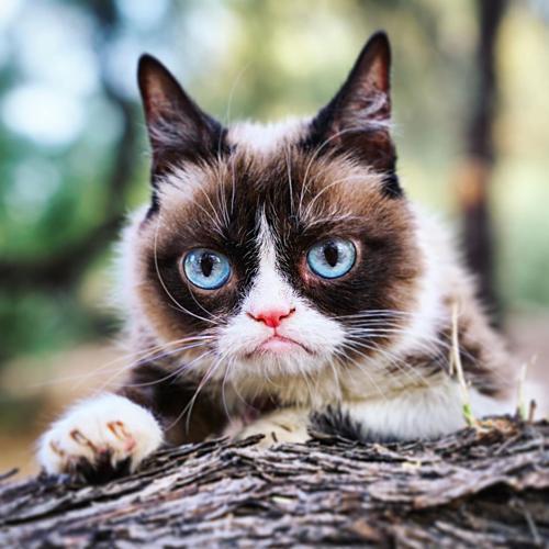 Mèo Grumpy với khuôn mặt dỗi hờn cả thế giới - 6