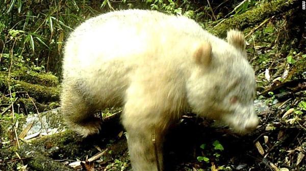 Gấu trúc bạch tạng có mắt đỏ, lông trắng và không có đốm đen.