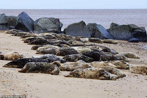 Những con hải cẩu nằm phơi mình trên bãi biển.