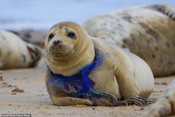 Con hải cẩu được mô tả trông đau khổ nằm ở bờ biển.