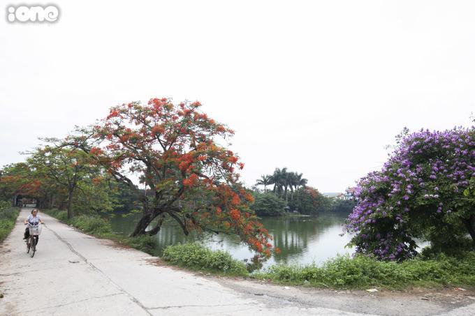 <p> Phượng và bằng lăng tím - hai loài hoa của mùa hè.</p>