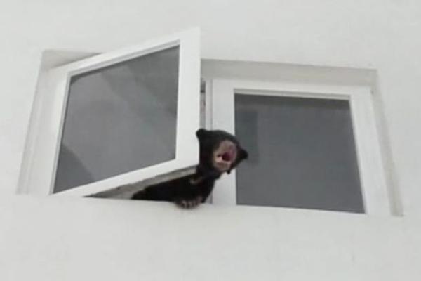 Con gấu thò đầu ra ngoài cửa sổ tòa nhà chung cư.