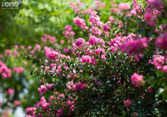 <p> Tường vi, còn có các tên gọi khác như tầm xuân nhiều hoa, hồng nhiều hoa, tường vi Nhật..., là loài thuộc cây thân gỗ, có nguồn gốc từ vùng Đông Á. Ở Việt Nam, hoa được trồng phổ biến ở Hà Nội và Đà Lạt.</p>