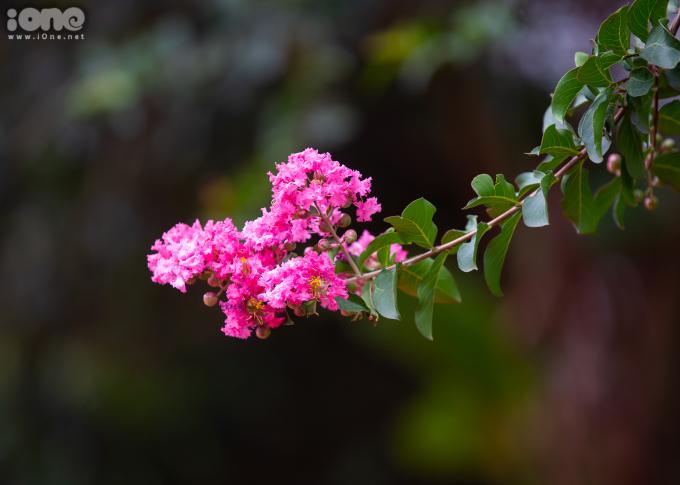 <p> Hoa tường vi ở Hà Nội có thời gian nở kéo dài 2-3 tháng nếu được trồng thành quần thể. Nếu trồng đơn lẻ, hoa sẽ nở trong khoảng 1,5 tháng.</p>