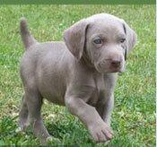 Đâu là chú cún con của giống chó này? - 24