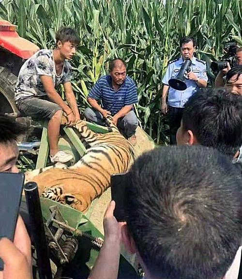 Con hổ được tìm thấy tại ruộng ngô sau một đêm chạy trốn.