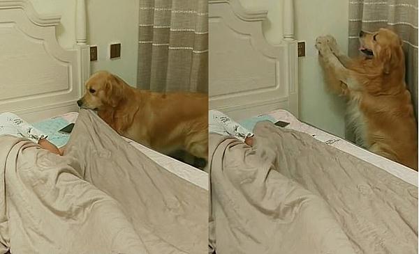 Chú chó thông minh được huấn luyện biết cách kéo chăn, tắt đèn.