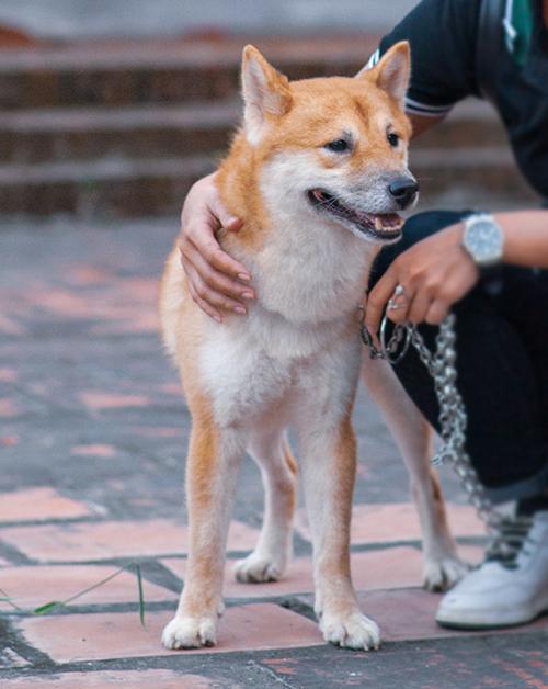 Chú chó giống Shiba của Nhật.