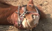 Ngựa giả vờ chết khi bị cưỡi