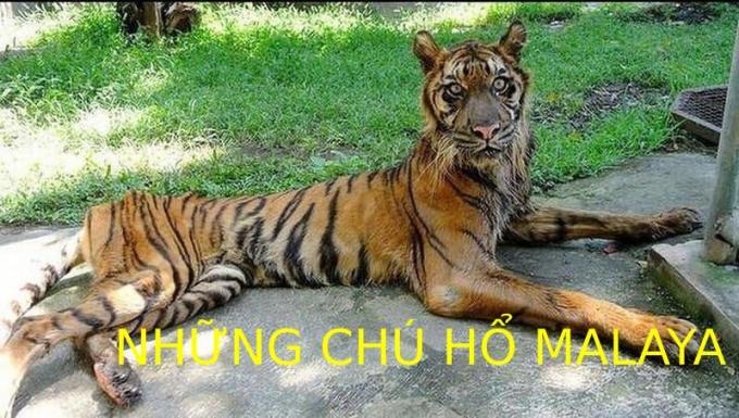 """<p> """"Những chú hổ Malaya"""" (biệt danh của đội bóng thuộc Malaysia) bị giễu cợt """"mèo lại hoàn mèo"""".</p>"""