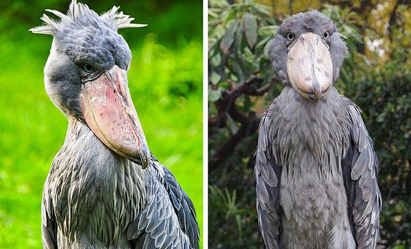 Loài cò mỏ giày trông giống hệt một người khoác trên mình bộ áo lông chim