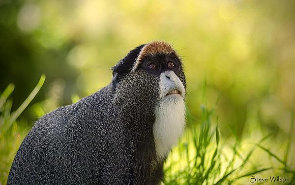 Khỉ De Brazza với gương mặt thất thần, ánh mắt đăm chiêu trong bức ảnh đầy nghệ thuật