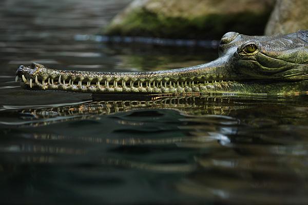 Gharials - cá sấu Ấn Độ với cấu tạo chiếc hàm hẹp, do vậy món ăn yêu thích của chúng chỉ là cá