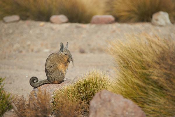 Chuột Viscacha với gương mặt bình thản với cảnh vật xung quanh