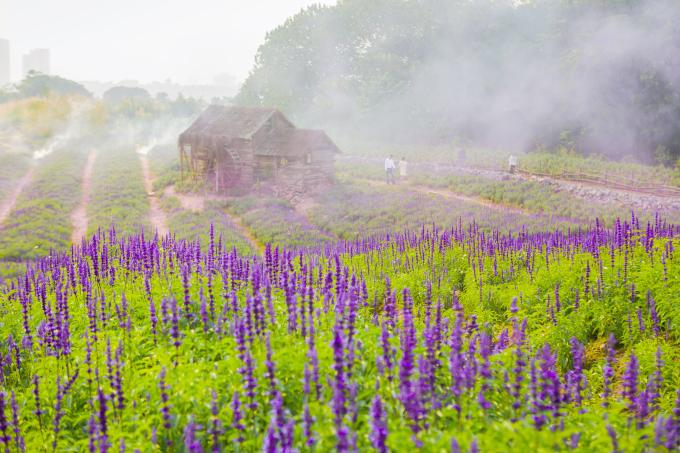 <p> Đây là loài hoa có lá hẹp sáng bóng, cây thân thảo lâu năm, hoa có màu tím xanh và thường được trồng ở nơi nhiều ánh sáng. Nếu được chăm sóc tốt thì cây sẽ cho rất nhiều hoa.</p>