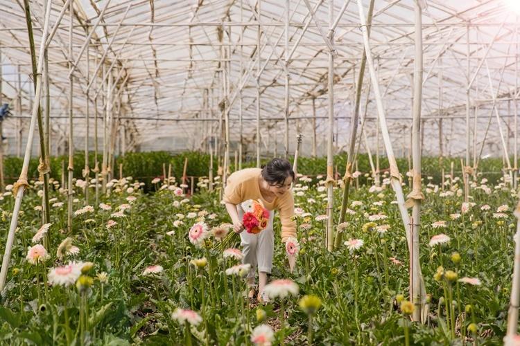 Lý Nhã Kỳ mặc trang phục thoải mái, giảndị. Cô vào vườn, tự tay hái hoa và đemlên TP HCM tặng bạn bè.