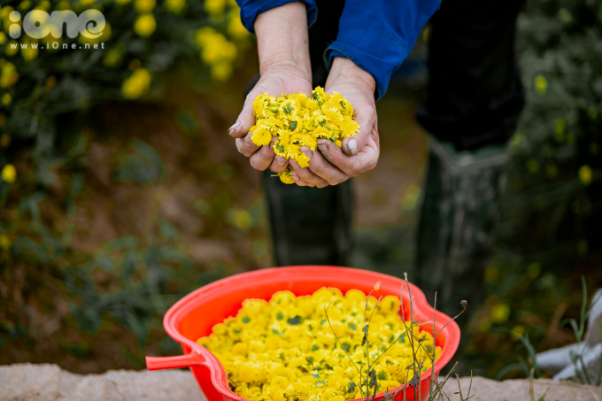 <p> Mỗi sào hoa cúc có thể thu về khoảng 450 kg hoa tươi, sau khi sấy khô còn khoảng 70 kg.</p>
