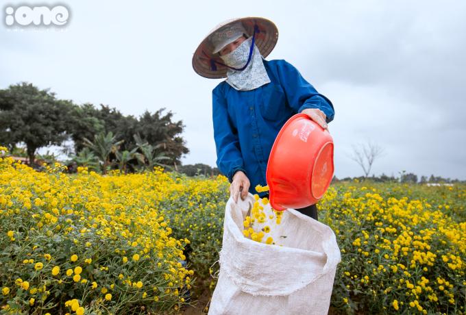 <p> Năm nay, mỗi kg hái được nhân công sẽ được trả 12.000 - 15.000 đồng/người. Một người có thể hái được 20 - 30 kg hoa mỗi ngày.</p>