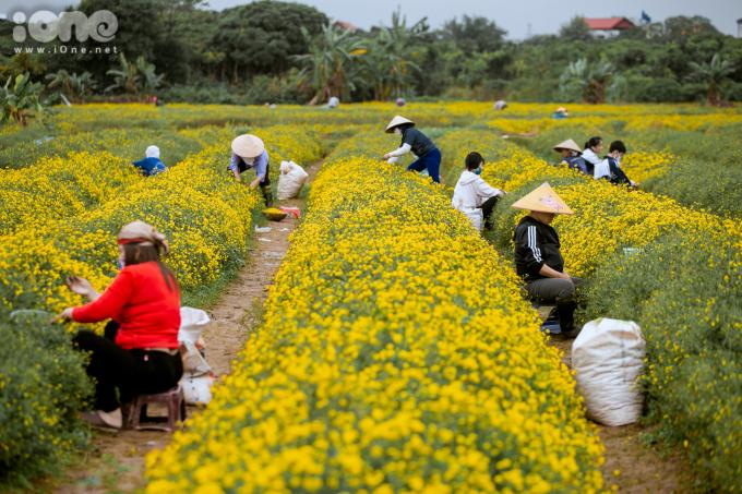 """<p> Cách trung tâm Hà Nội khoảng 30 km, thôn Nghĩa Trai (xã Tân Quang, huyện Văn Lâm, Hưng Yên) vốn nổi tiếng với cánh đồng trồng hoa cúc """"tiến vua"""".</p>"""