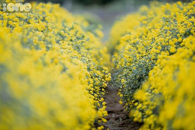 <p> Cúc 'tiến vua' còn được gọi là cúc chi, kim cúc hay hoàng cúc. Loài hoa này từng được trồng để dâng lên vua chúa làm dược liệu.</p>