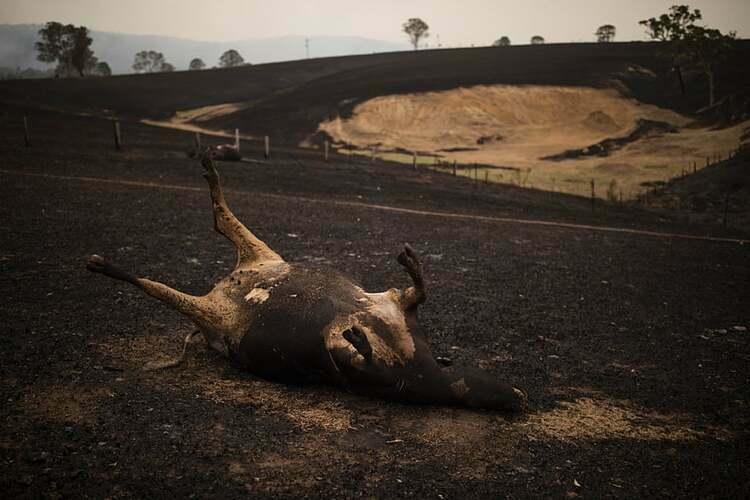 Con bò chết cháy trong cơn hỏa hoạn. Ảnh: AAP.