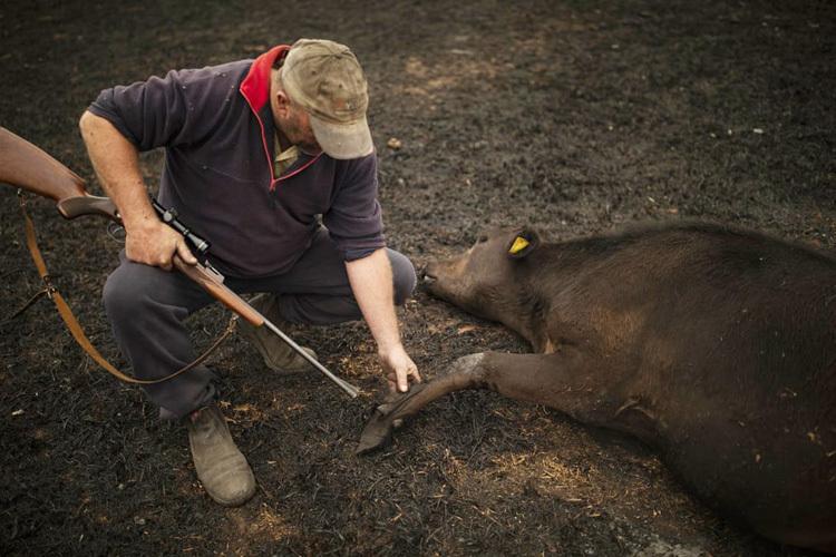Steve Shipton kiểm tra vết bỏng trên chân của một con bò khi đám cháy rừng hoành hành qua Coolagolite, miền nam bang New South Wales. Ảnh: AAP.