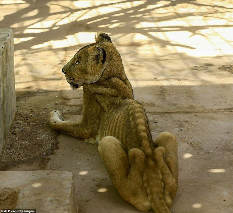 Sư tử gầy trơ xương trong công viên - 1