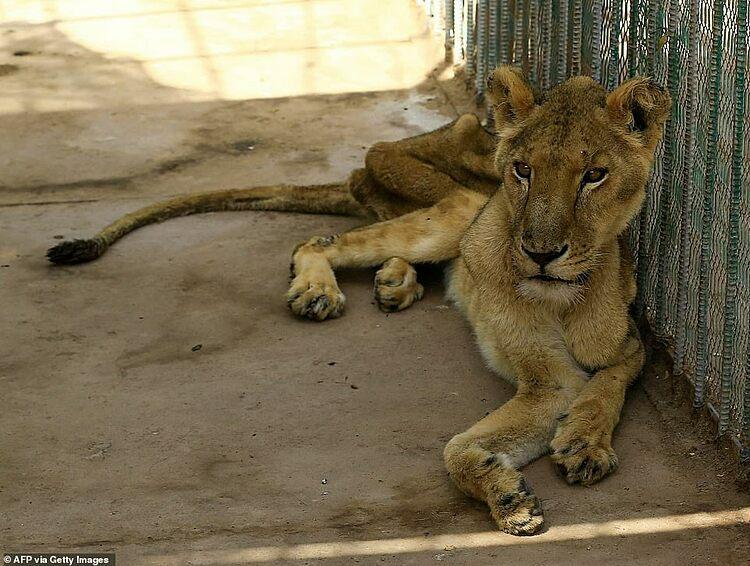 Những con sư tử da bọc xương.