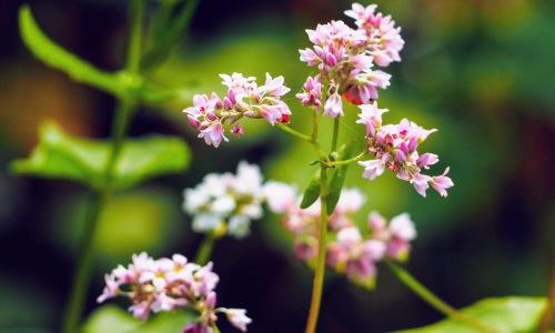 Hoa tam giác mạch xuất hiện ở Đà Nẵng dịp Tết