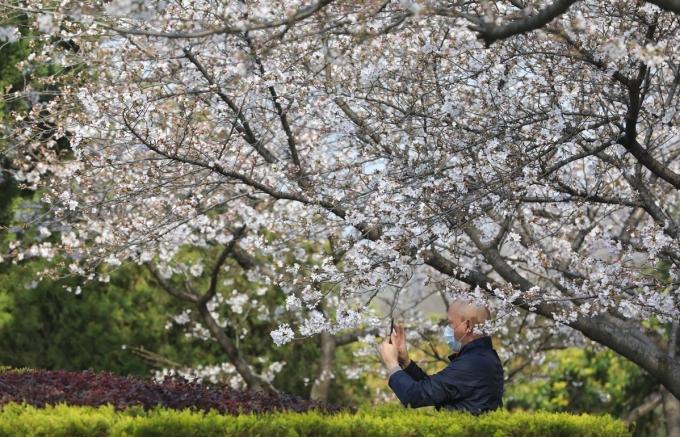 <p> Một người đàn ông đeo khẩu trang đi ngắm hoa, chụp ảnh.</p>
