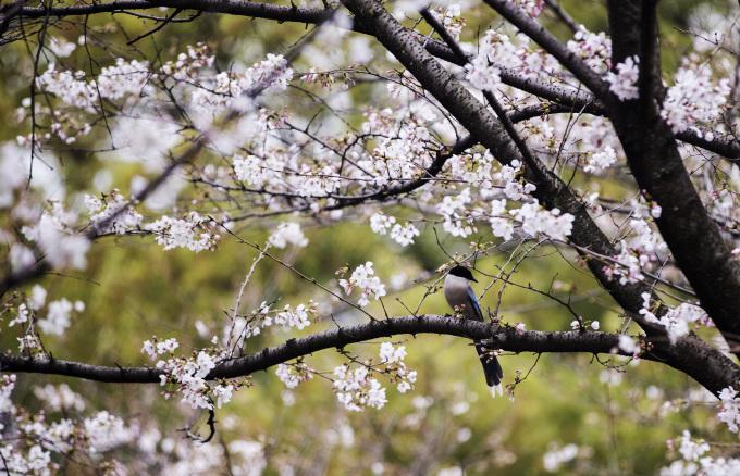 Hoa anh đào nở rộ ở Đại học Vũ Hán