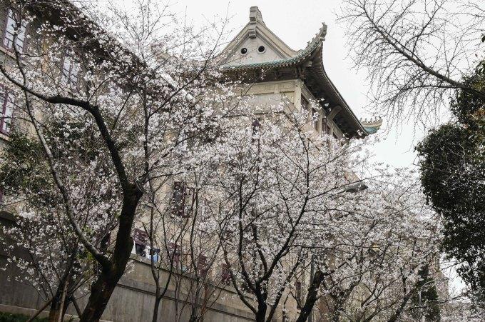 <p> Những tòa nhà cổ kính được bao phủ bởi sắc trắng hoa anh đào.</p>
