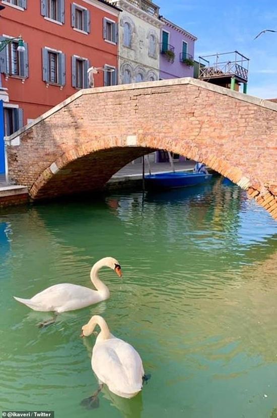 Khi không còn khách du lịch trên những chiếc thuyền, thiên nga thoải mái đậu trên mặt nước. Ảnh: Twitter.