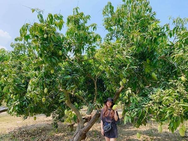 Minh Chuyên bên một gốc xoài chín tại khu vườn rộng 12.000 m2 của cô ở Nha Trang.